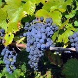 Image: Chodorowa Vineyard